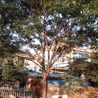 江苏27公分榉树7000元 27公分红榉7000元上车价