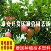 红骨髓苹果苗价格 红骨髓苹果苗批发
