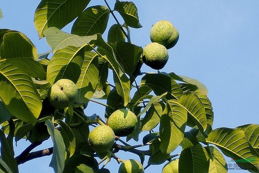定州马占分核桃树种植基地