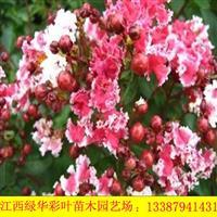 江西供应红叶复花矮紫薇 红叶红花紫薇 国内紫薇树苗供应 丛生