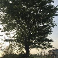 江苏28公分榉树7500元,胸径28公分红榉7500元。