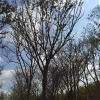 胸径32公分榉树8800元,33公分红榉9000元上车