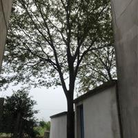 江苏38公分榉树13000元 39公分榉树14000装车