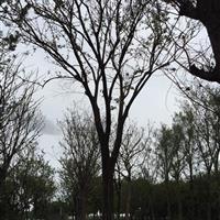 江苏40公分榉树15000元 苏州40公分红榉15000元装