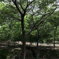 江苏15公分朴树1000元 胸径16公分朴树1200元上车。