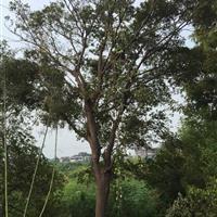 江苏25公分朴树3800元,江苏胸径26公分朴树4200元