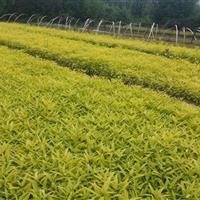 金叶莸苗、金叶莸分栽苗、金叶莸价格绿化工程苗
