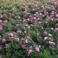 蔷薇花、蔷薇苗、蔷薇价格、红花蔷薇价格、粉花蔷薇报价