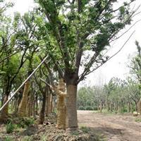 榉树苗、榉树价格、榉树1-20cm工程苗报价