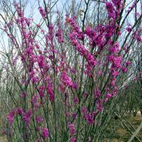 紫荆苗、紫荆价格 紫荆树苗、丛生紫荆工程苗