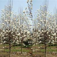 白玉兰2-15cm工程苗 白玉兰价格 白玉兰树苗价格基地直供