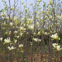 黄玉兰2-15cm工程苗报价、黄玉兰价格 黄玉兰树苗黄玉兰苗