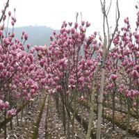 紫玉兰2-15cm工程苗报价紫玉兰价格 紫玉兰树苗价格