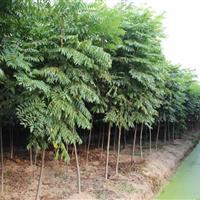 栾树2-15公分工程苗栾树价格 栾树树苗价格 栾树基地直供
