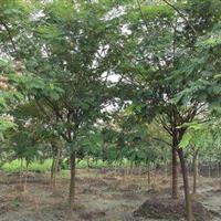 合欢树苗2-15公分工程苗合欢价格 金合欢树苗银合欢树苗价格