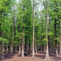 水杉 水杉价格 水杉树苗 水杉工程苗报价