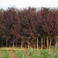 紫叶李2-15公分工程苗紫叶李价格 红叶李树苗价 红叶李树苗