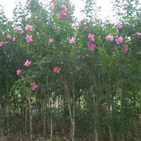 丛生木槿、独杆木槿、红花木槿、木槿花工程苗木槿价格