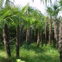 棕榈50-350cm工程苗棕榈价格 棕榈树苗价格