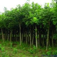 中华灯台树 中华灯台树价格 中华灯台树工程苗