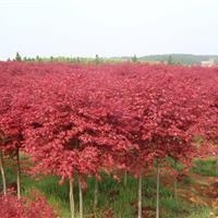 红枫 红枫树苗 红枫价格 红枫工程苗 青枫树苗