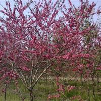红叶桃 红叶桃价格 红叶桃树苗桃树苗工程苗