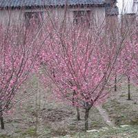 榆叶桃 榆叶桃价格 榆叶桃树苗 榆叶桃工程苗