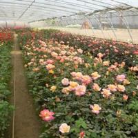 品种月季 品种月季价格 品种月季工程苗月季花