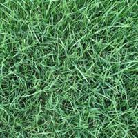 高羊茅草坪 高羊茅草坪价格 高羊茅绿化苗木