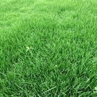 早熟禾 早熟禾草坪价格 早熟禾绿化草皮