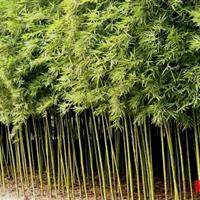 刚竹树苗 刚竹价格 刚竹子价格 刚竹工程苗