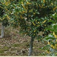 桂花树 桂花苗 四季桂花价格金桂银桂等桂花树品种
