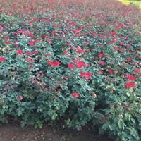 扦插红帽月季60公分高,红帽月季地栽苗,红帽月季价格下跌了