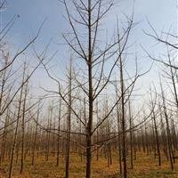 山东临沂供应7-10银杏新树