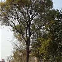 江苏朴树31公分6200元,32公分朴树6400元。