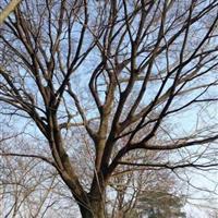 江苏胸径39公分朴树9000元  胸径40公分朴树10000