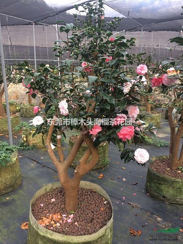 东莞市樟木头海榴茶花园