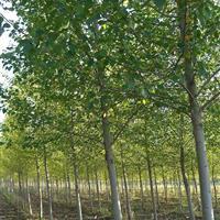 梓树价格,定州梓树·,大规格梓树·