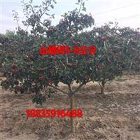 新品种山楂苗哪里有卖的?新品种甜山楂树苗产地价格
