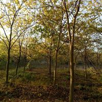 珊瑚朴树 杭州珊瑚朴树 珊瑚朴树价格 珊瑚朴与朴树价格介绍