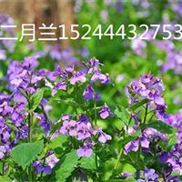 山东宿根花卉二月兰批发商