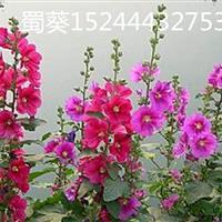 山东宿根花卉蜀葵