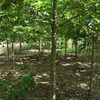 娜塔栎,舒玛栎,沼生栎,欧州红栎,柳叶栎