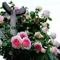 大型藤本玫瑰进口月季 龙沙宝石 基地直销可批发零售