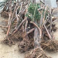 河南地区供应三尖杉盆景桩