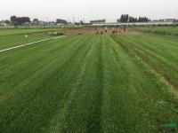 山东草坪 草皮4