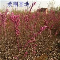 目前紫荆苗多少钱一棵,紫荆苗产地在哪里,紫荆花树怎么卖?