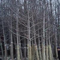 银杏5-12公分造林树大量处理