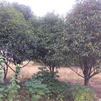 供应桂花φ10-17公分,处理价68元自挖,合计1700棵
