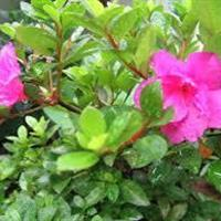 浙江紫鹃供应|宁波紫鹃便宜|柴桥柴桥紫鹃种植地基批发